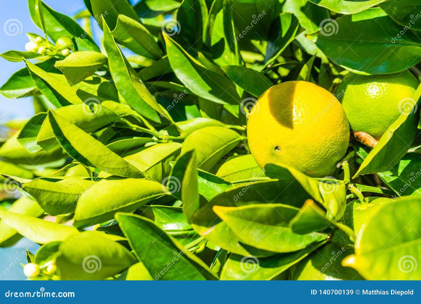 Graphfruit op een boom