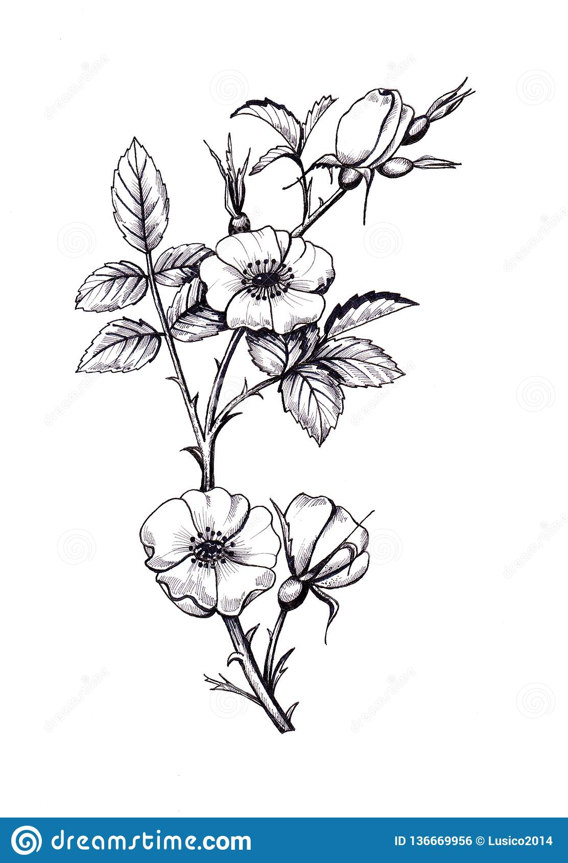 Botanical Graphic Illustration Of Wild Rose In White And Black