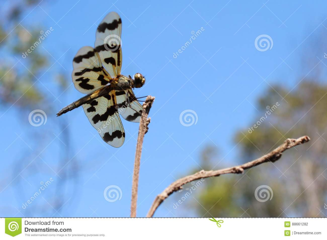 The Graphic Flutterer Dragonfly is resting on a branch in the Northern Territory of Australia