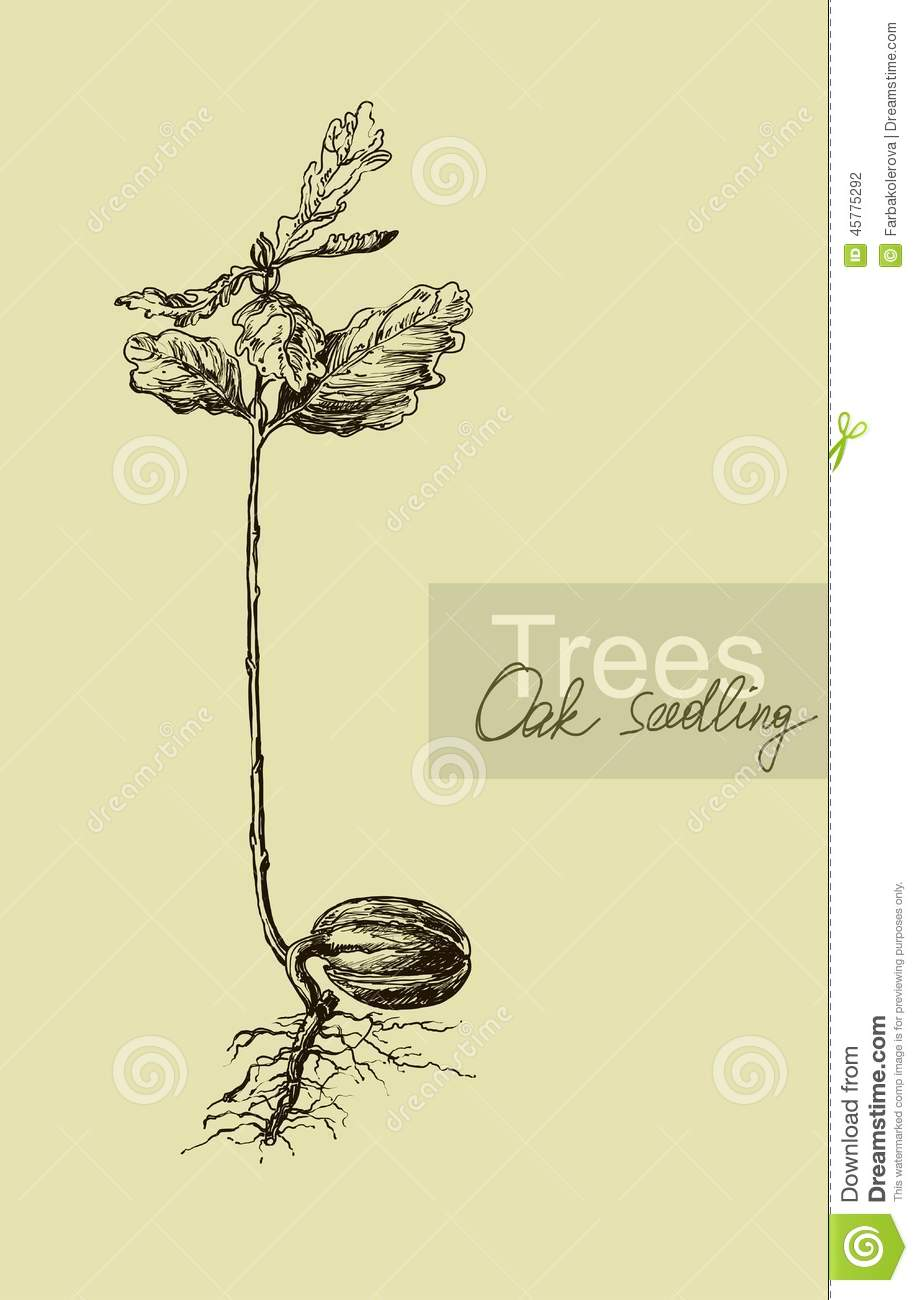 Graphic Hand Drawing Of A Seedling Oak Acorn Stock Vector