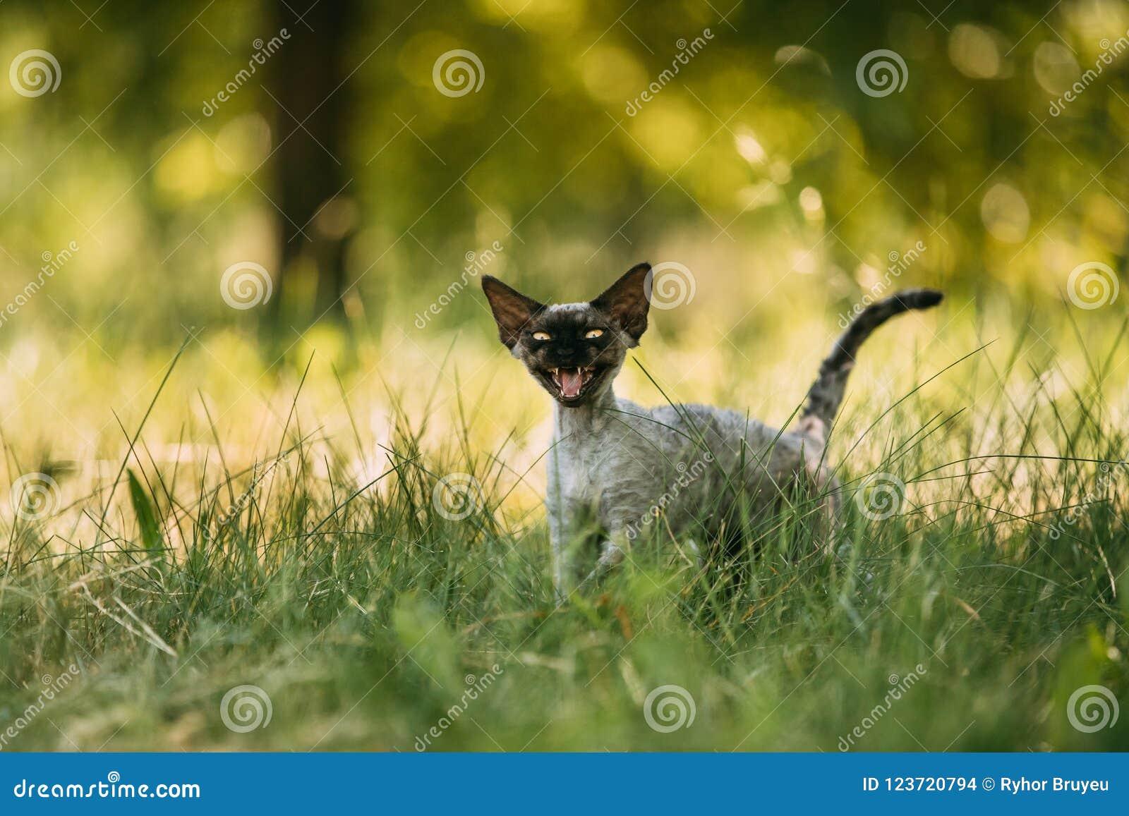 Grappig Jong Gray Devon Rex Kitten Meowing In Green-Gras Kortharige kat