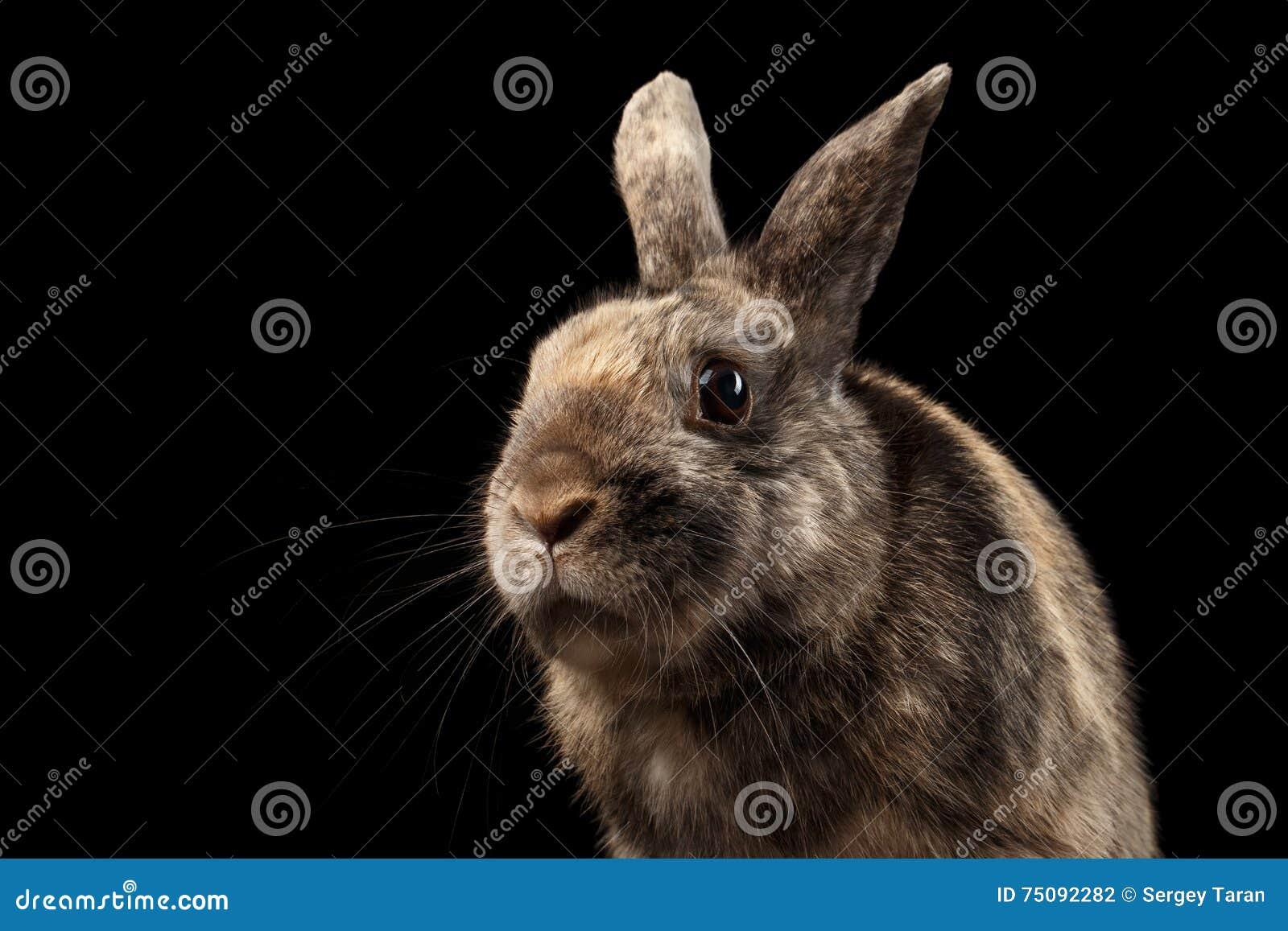 Grappige close-up Weinig konijn, Bruin die Bont, op Zwarte Achtergrond wordt geïsoleerd