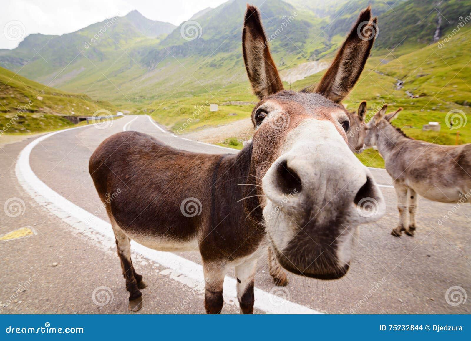 Grappige ezel op weg