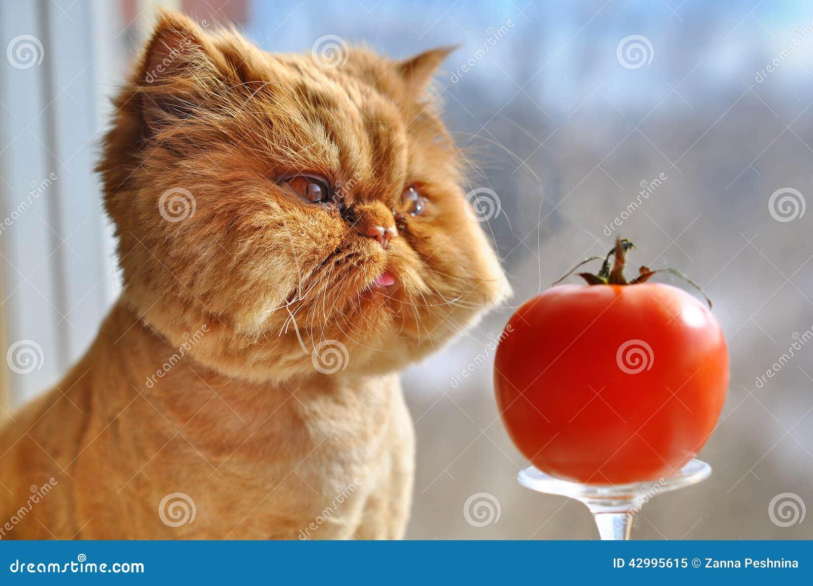 Grappige kat en rode tomaat