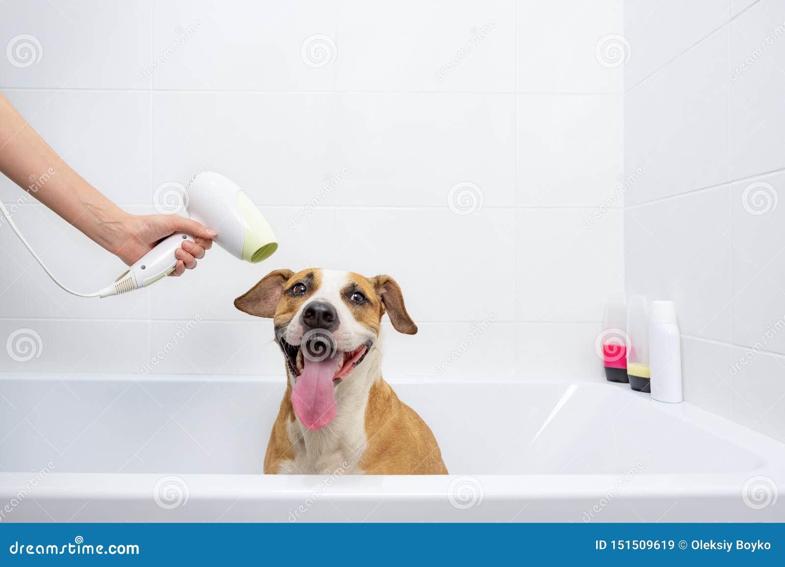 Grappige leuke hond in een badkuip die droog met een droogkap worden