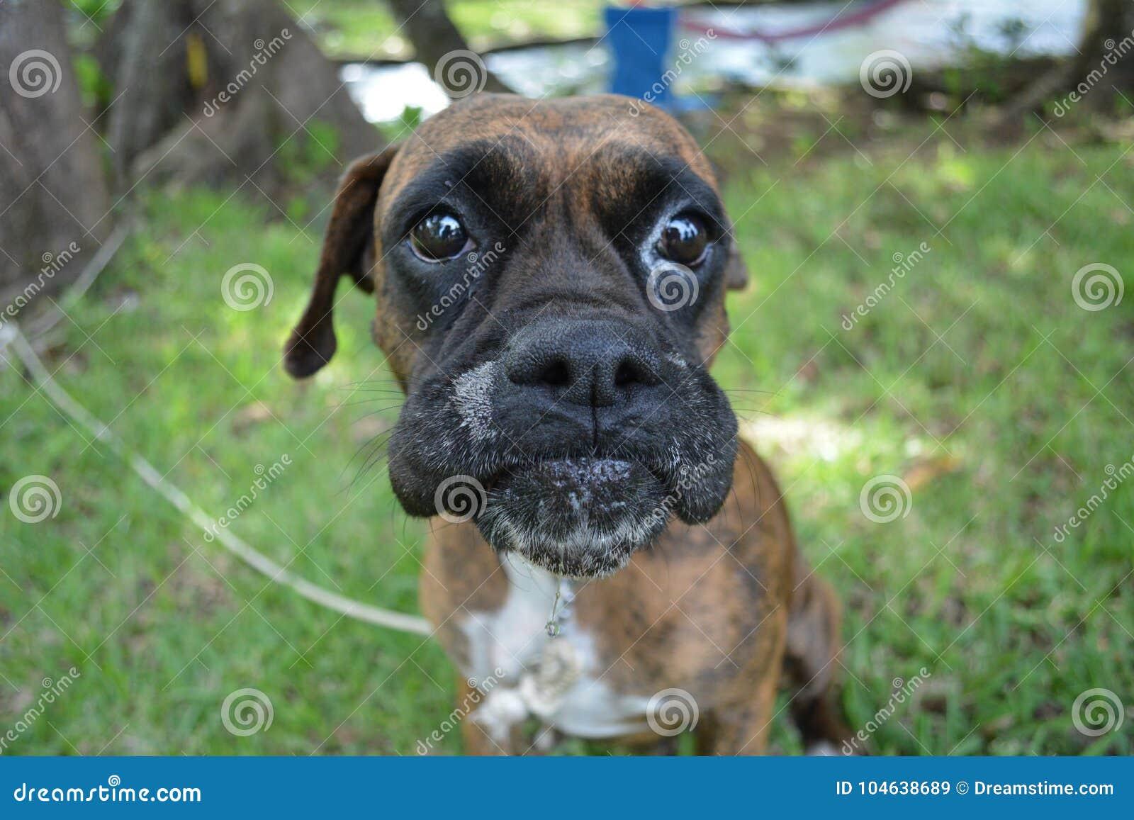 Download Grappige Wangen Van De Kruisingshond Stock Afbeelding - Afbeelding bestaande uit zwart, grappig: 104638689