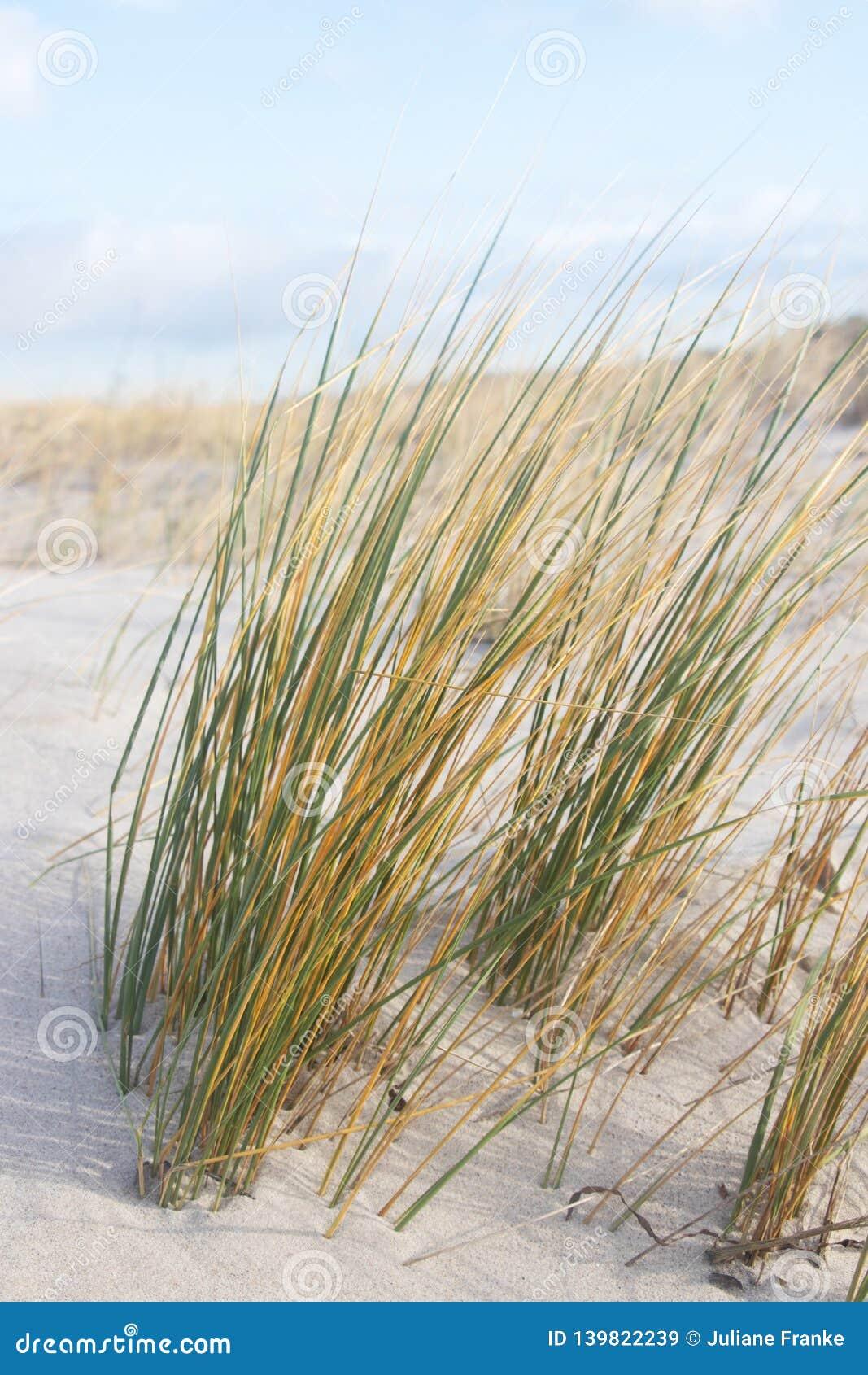 Gras bij zandig duin, Oostzee