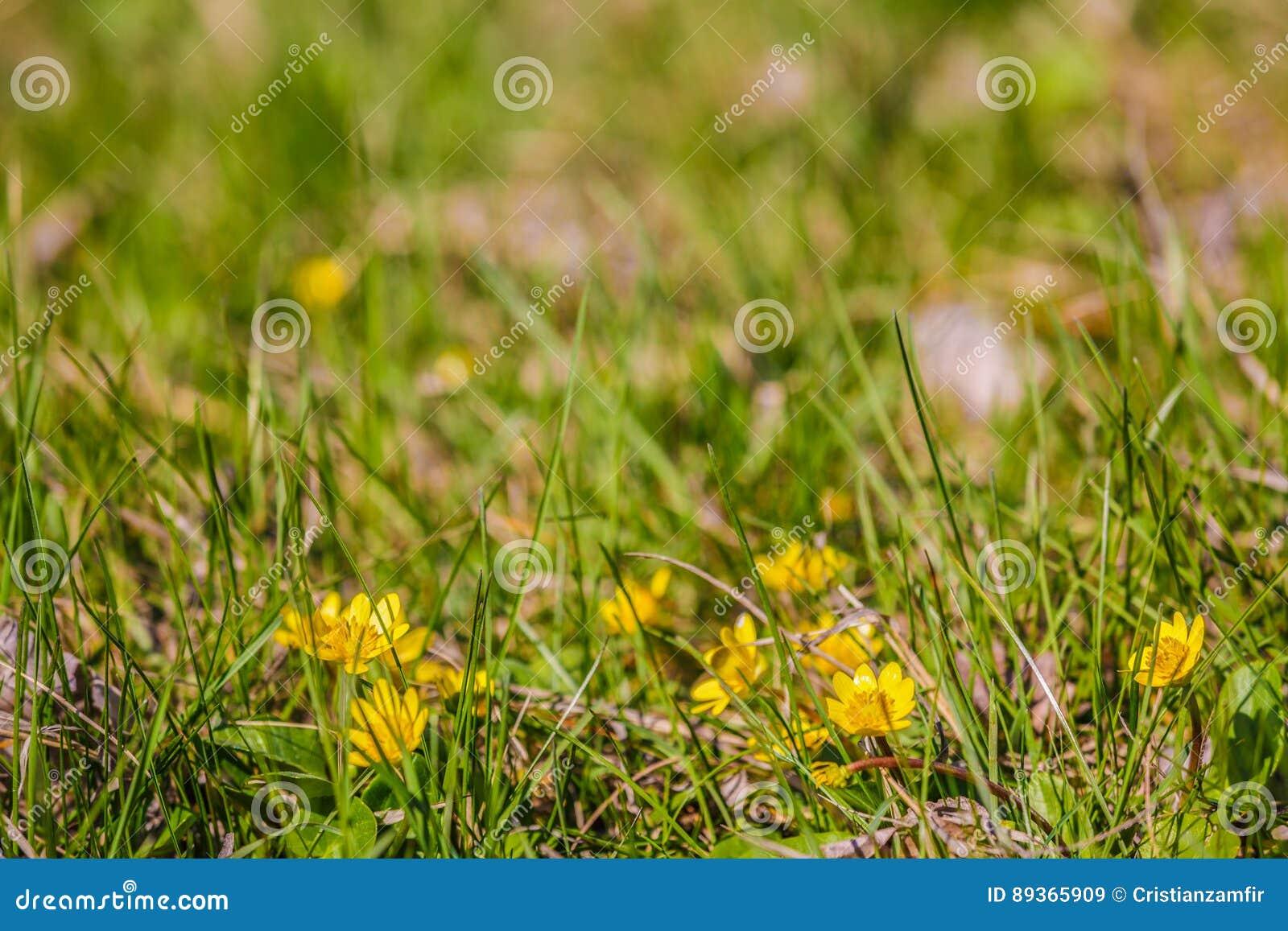 Afbeeldingen Gele Wilde Bloemen