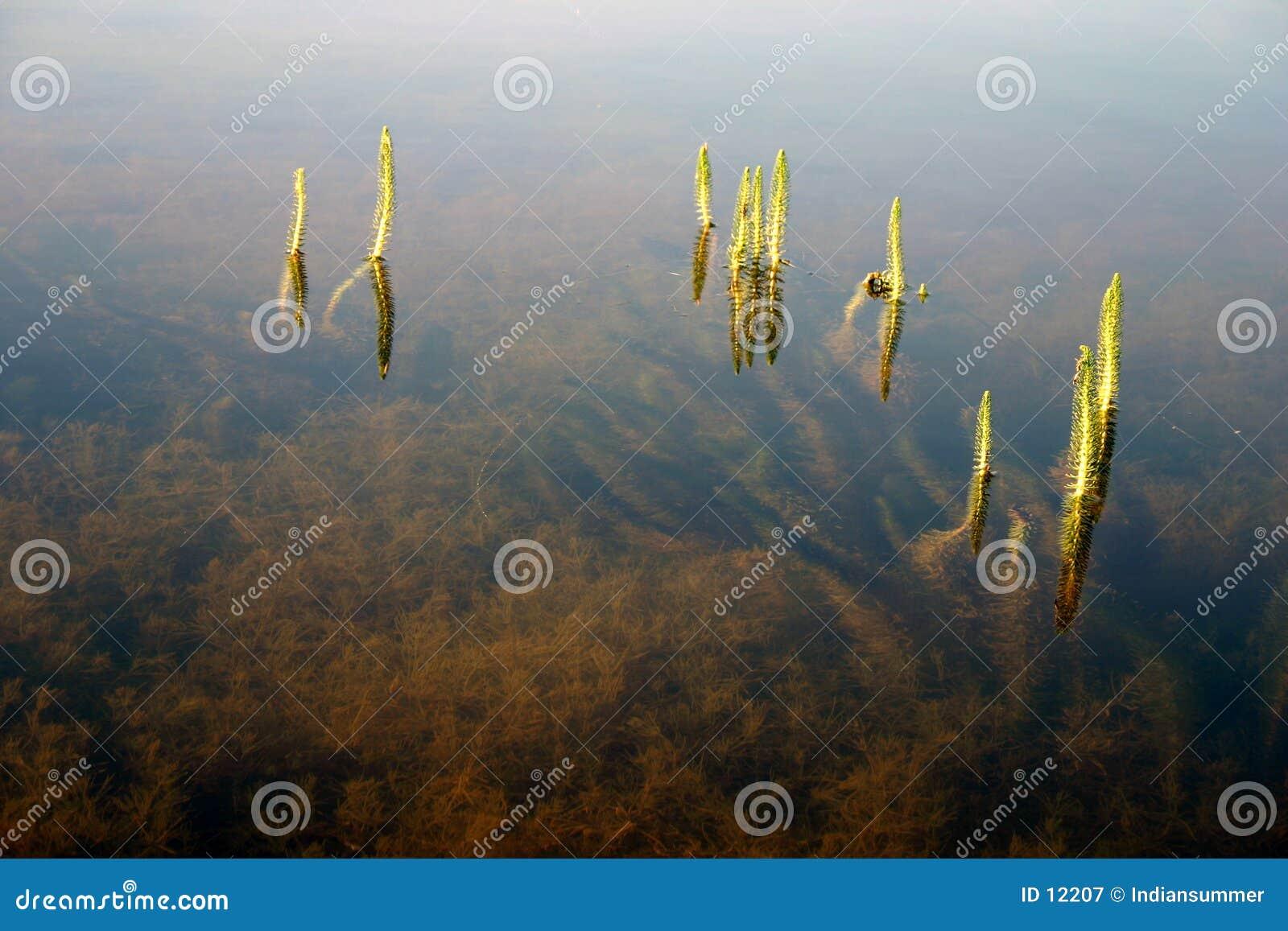 Gras in het water