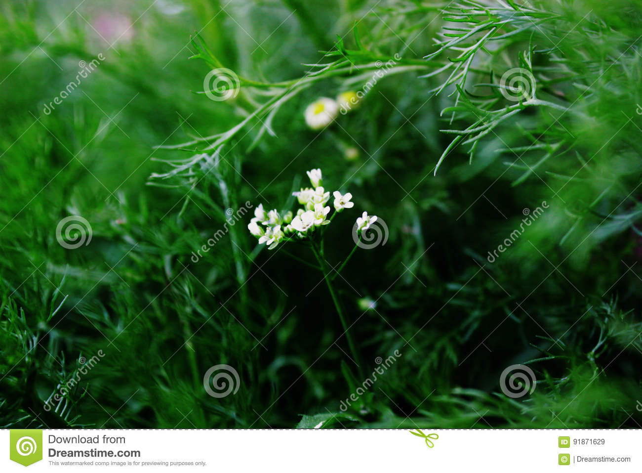 Grass Blooms Stock Image Image Of Spring Grass Weed 91871629