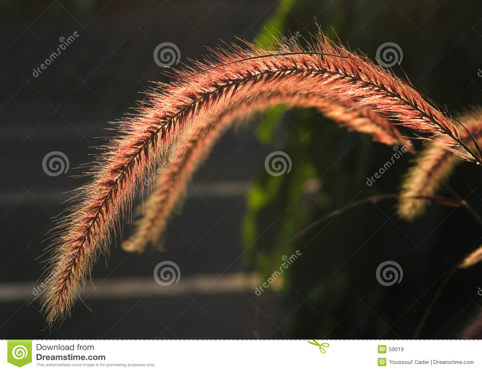 Grass family flower-1210