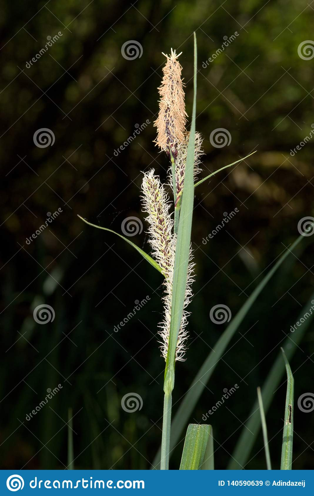 Closeup of grass with pollen