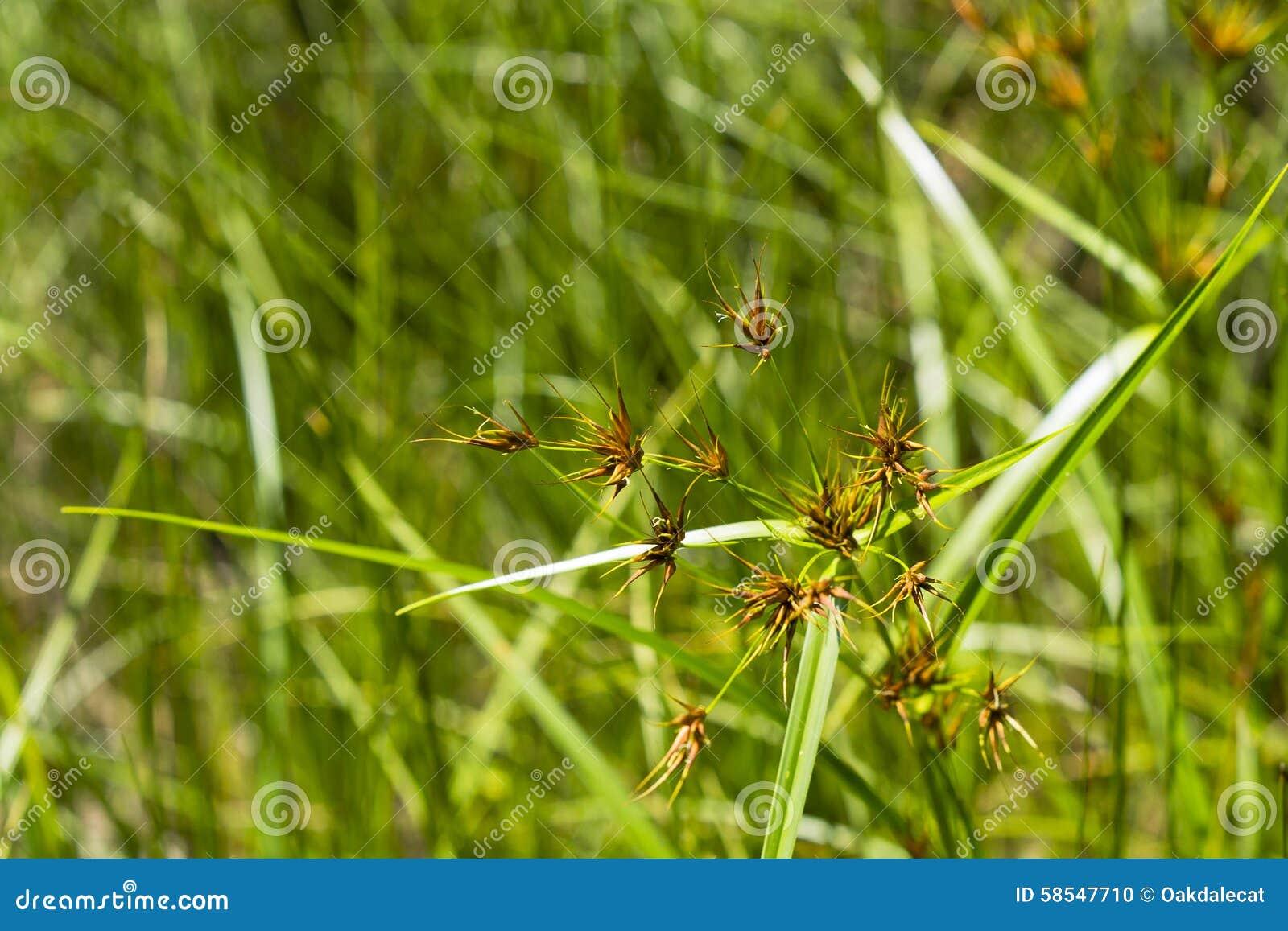 Grass like sedge stock photo image 58547710 for Grass like flowering plants