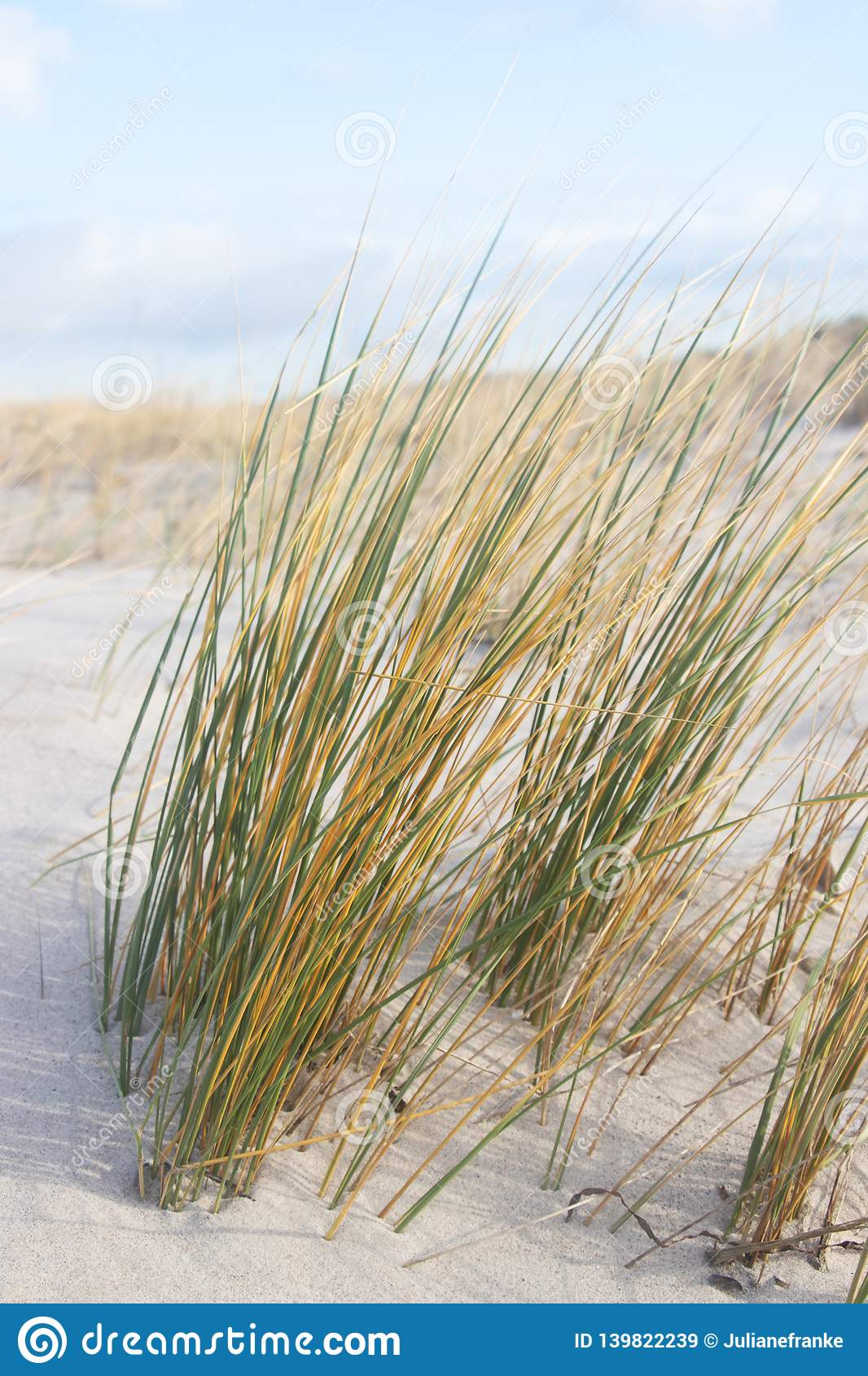 Grass at sandy dune, baltic sea