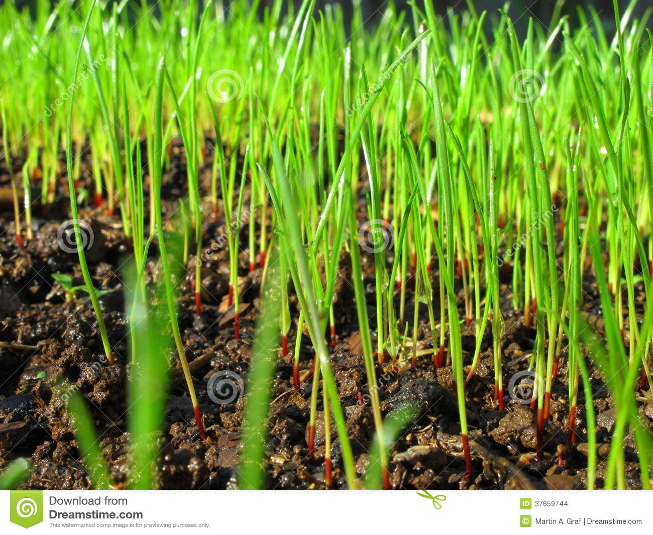 Grass sprouts macro