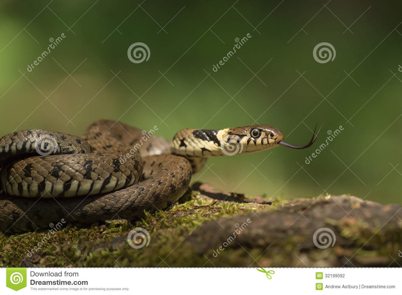 Difference between male and female snakes-9649