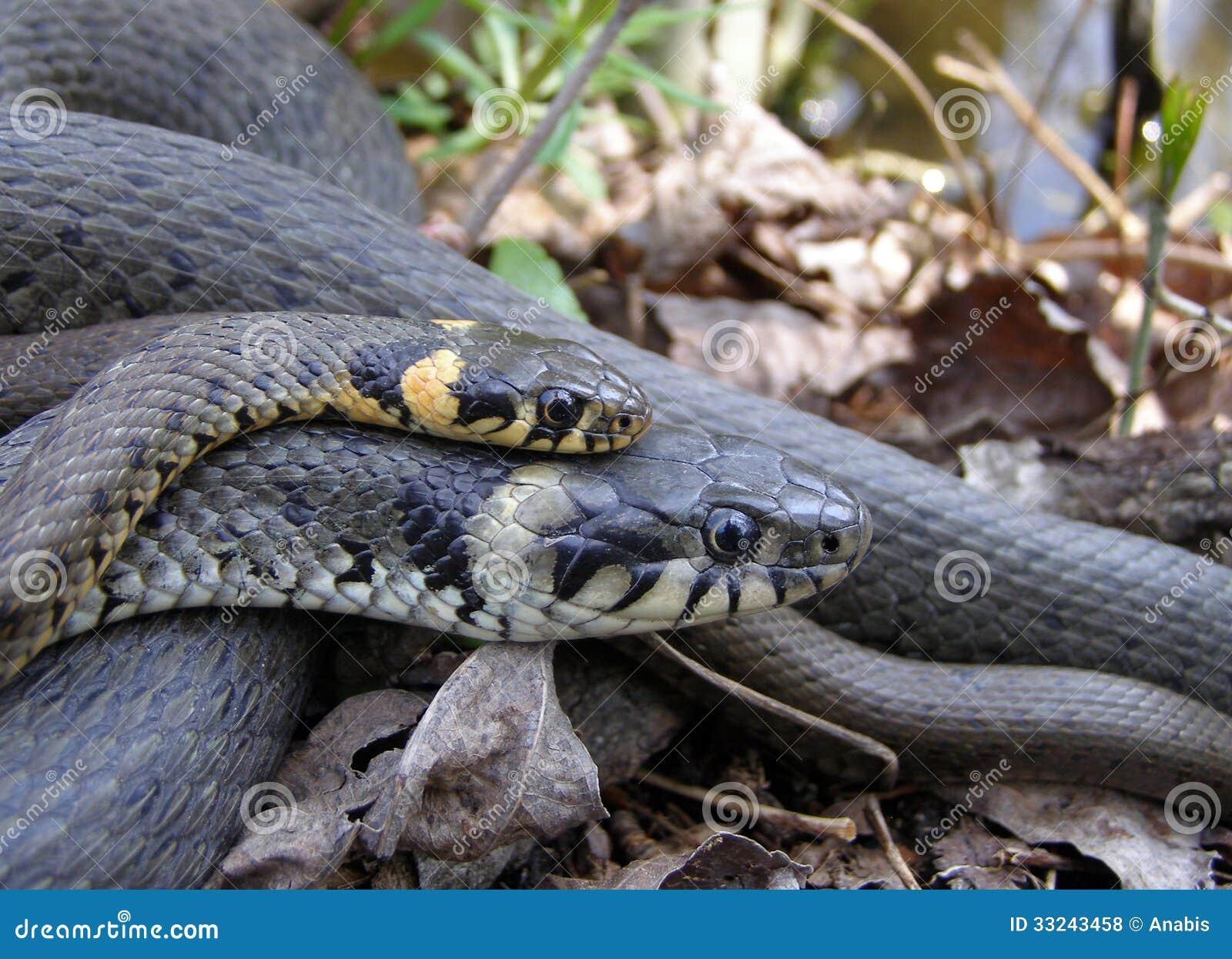grass snakes mating royalty free stock photos image 33243458
