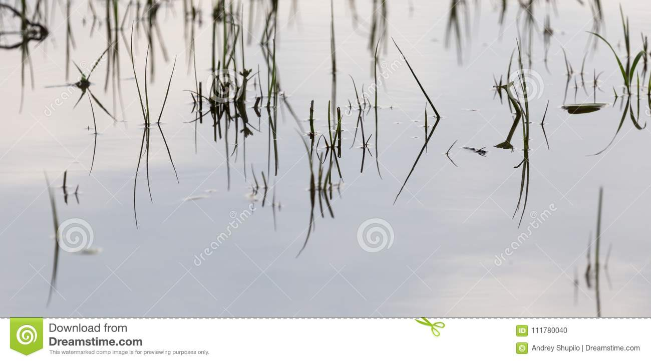 Grass in water at sunset