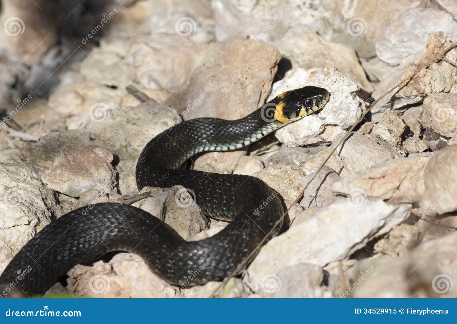 Grasschlange mit seiner Zunge, die auf dem Boden heraus kriechen hängt