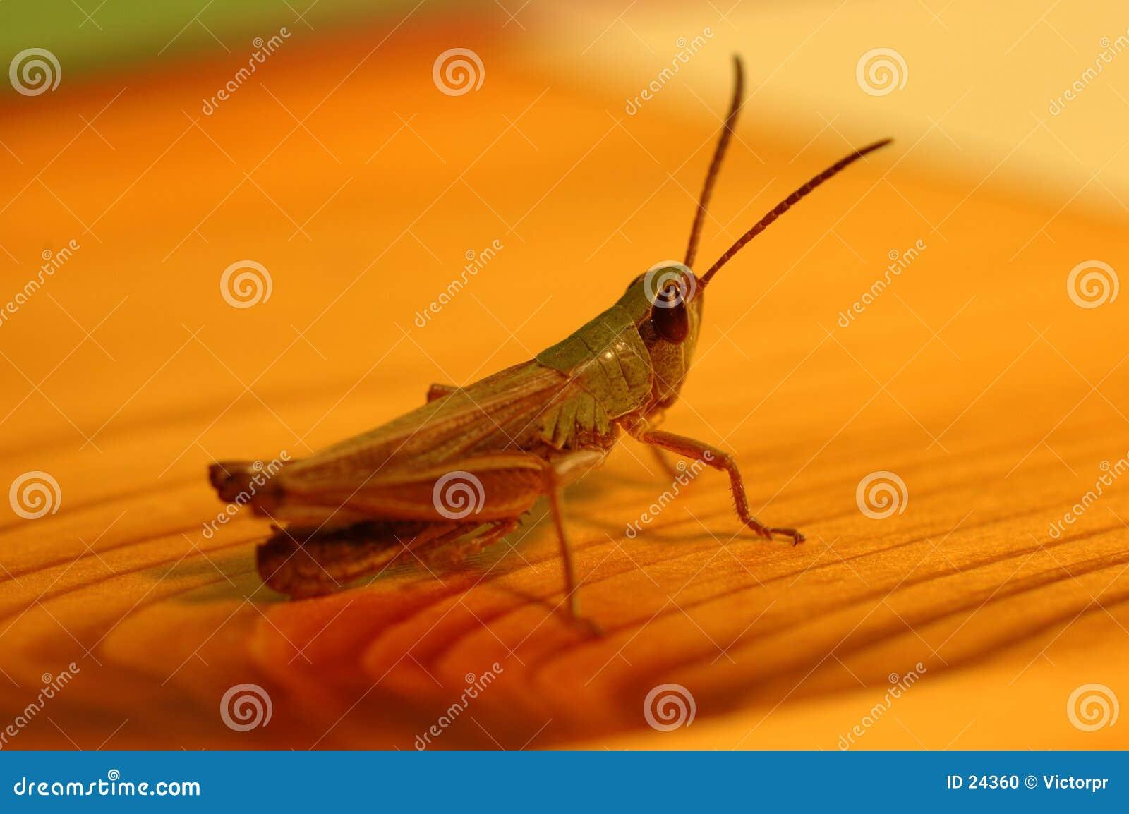 Grasshoppen sur la table