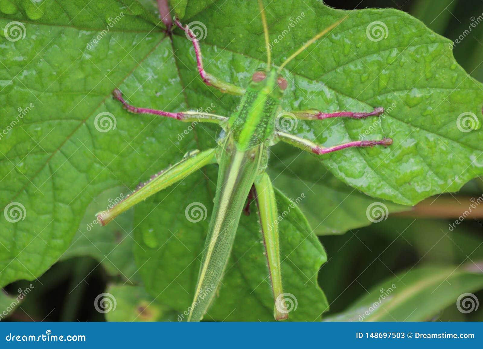 Grasshopper στο πράσινο φύλλο