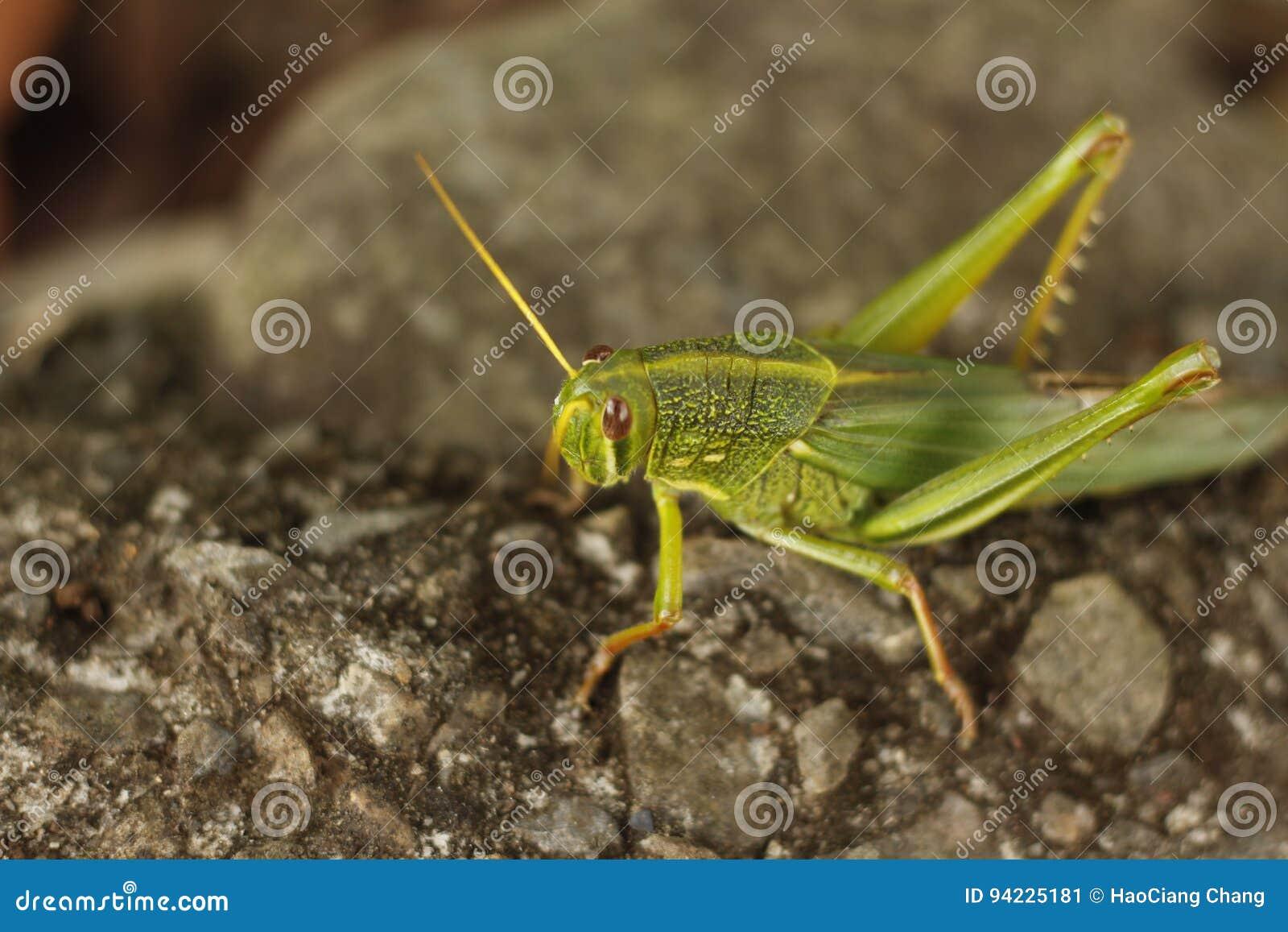 The grasshopper of High angel views