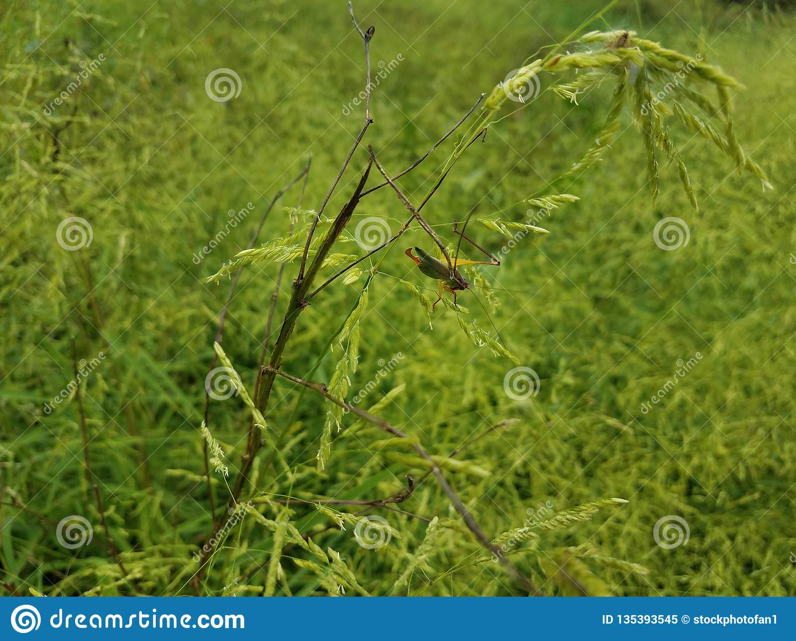 Grasshopper insect with antennae on green grass or plant