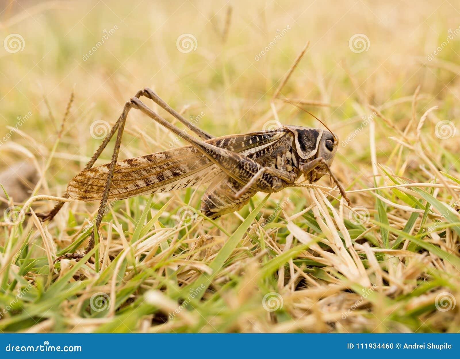 Grasshopper in nature. macro