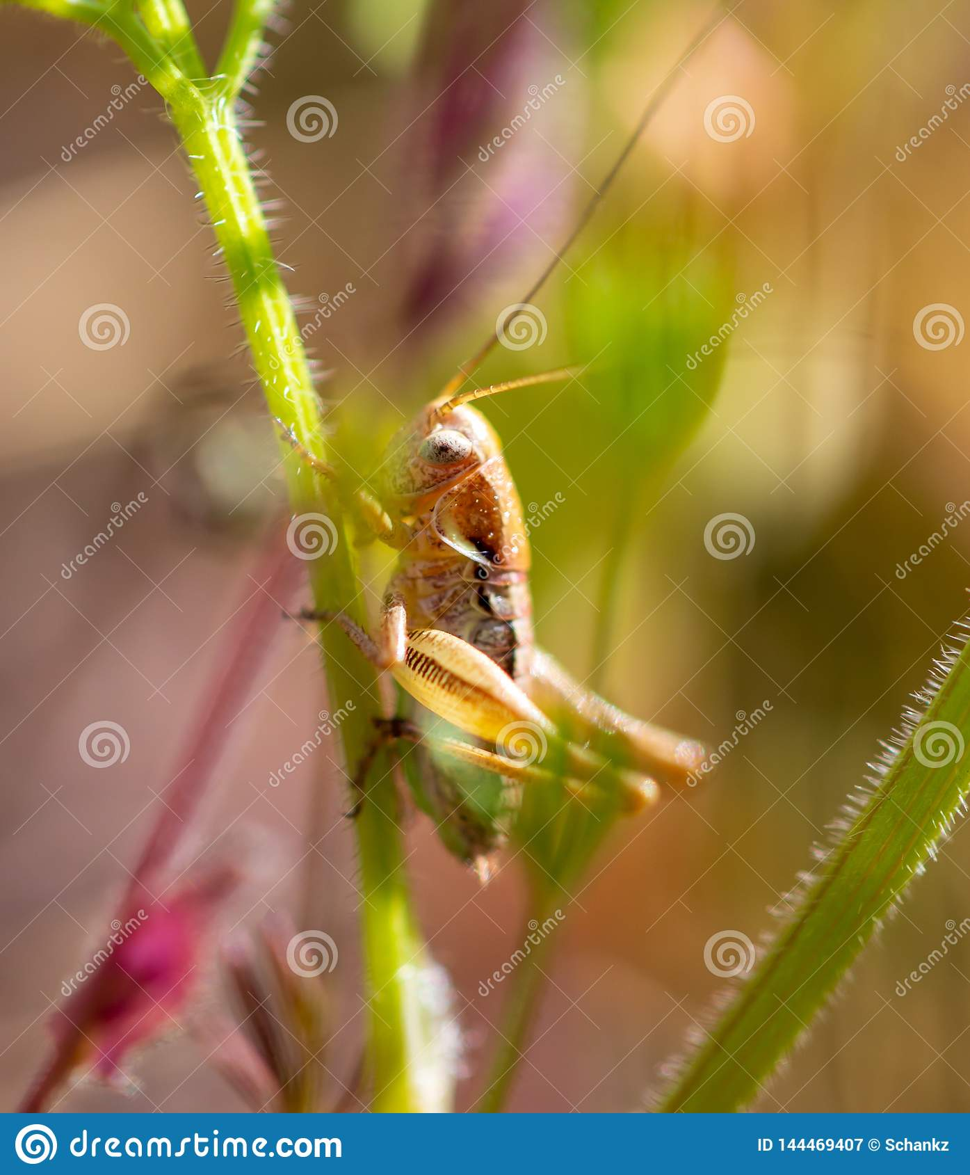 Grasshopper in nature in spring