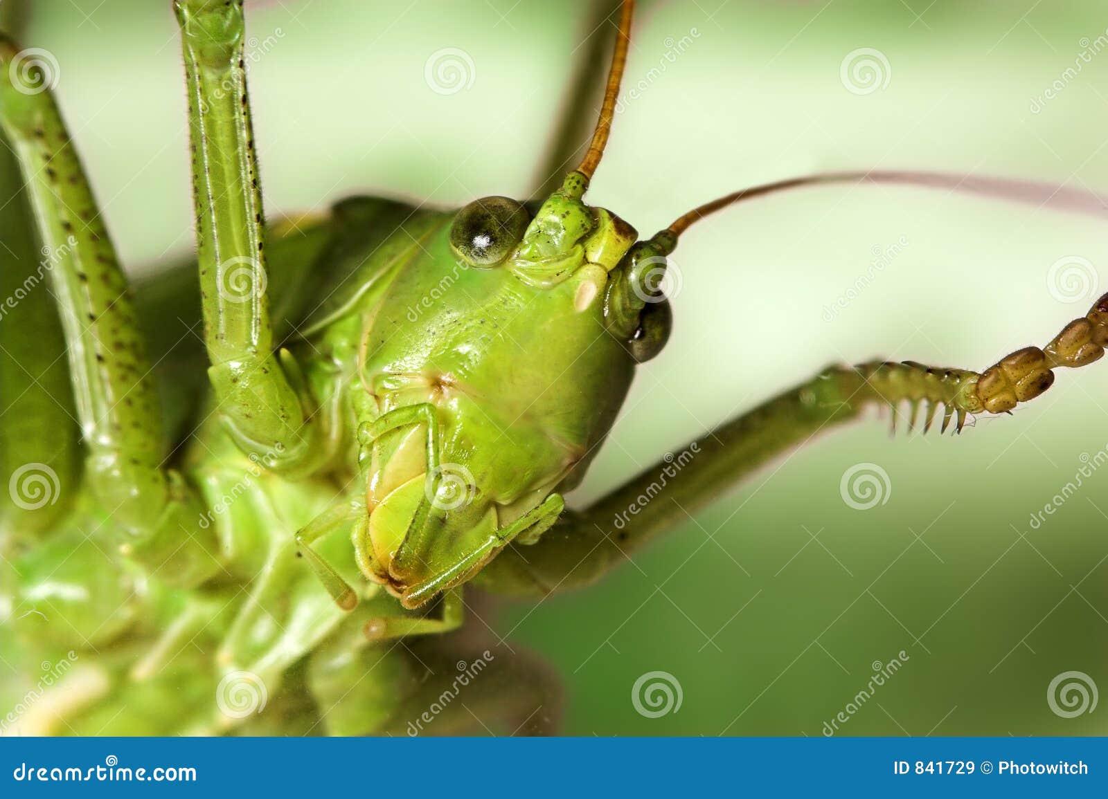 Grasshopper s face