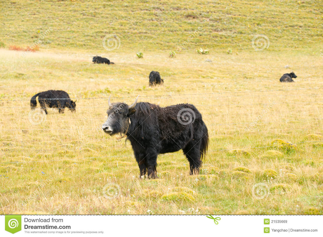 grassland with black yark stock image image of meat 21535669