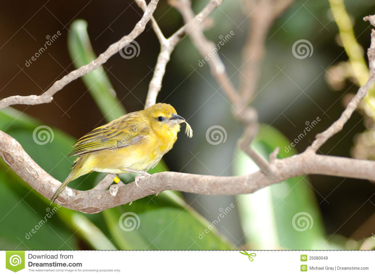 Grassland Yellow Finch with feather in beak