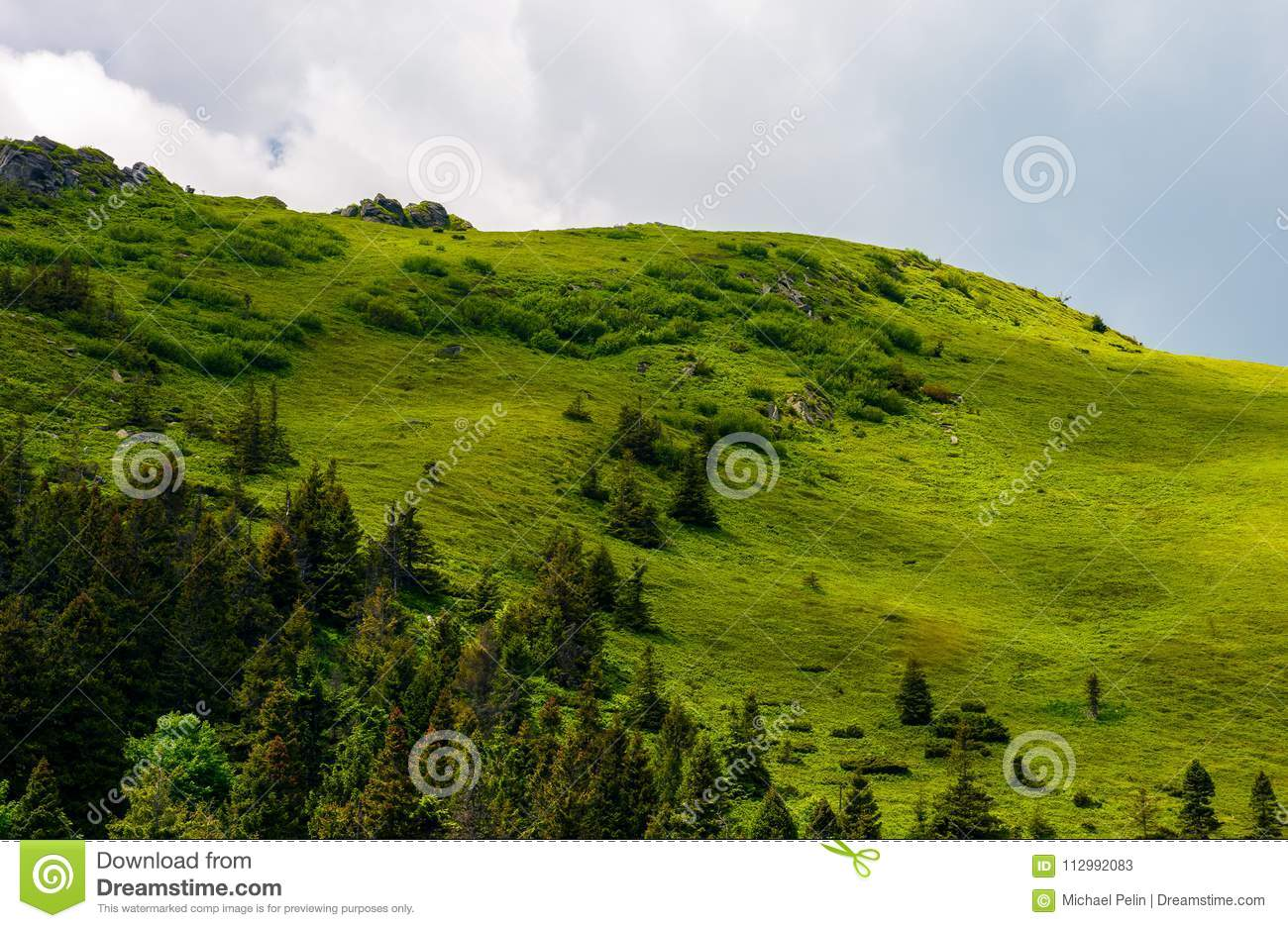 Grassy hillside with spruce forest