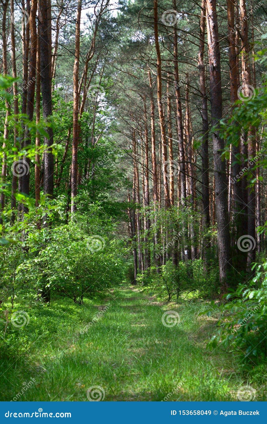 Grasweg in einem Kiefernwald