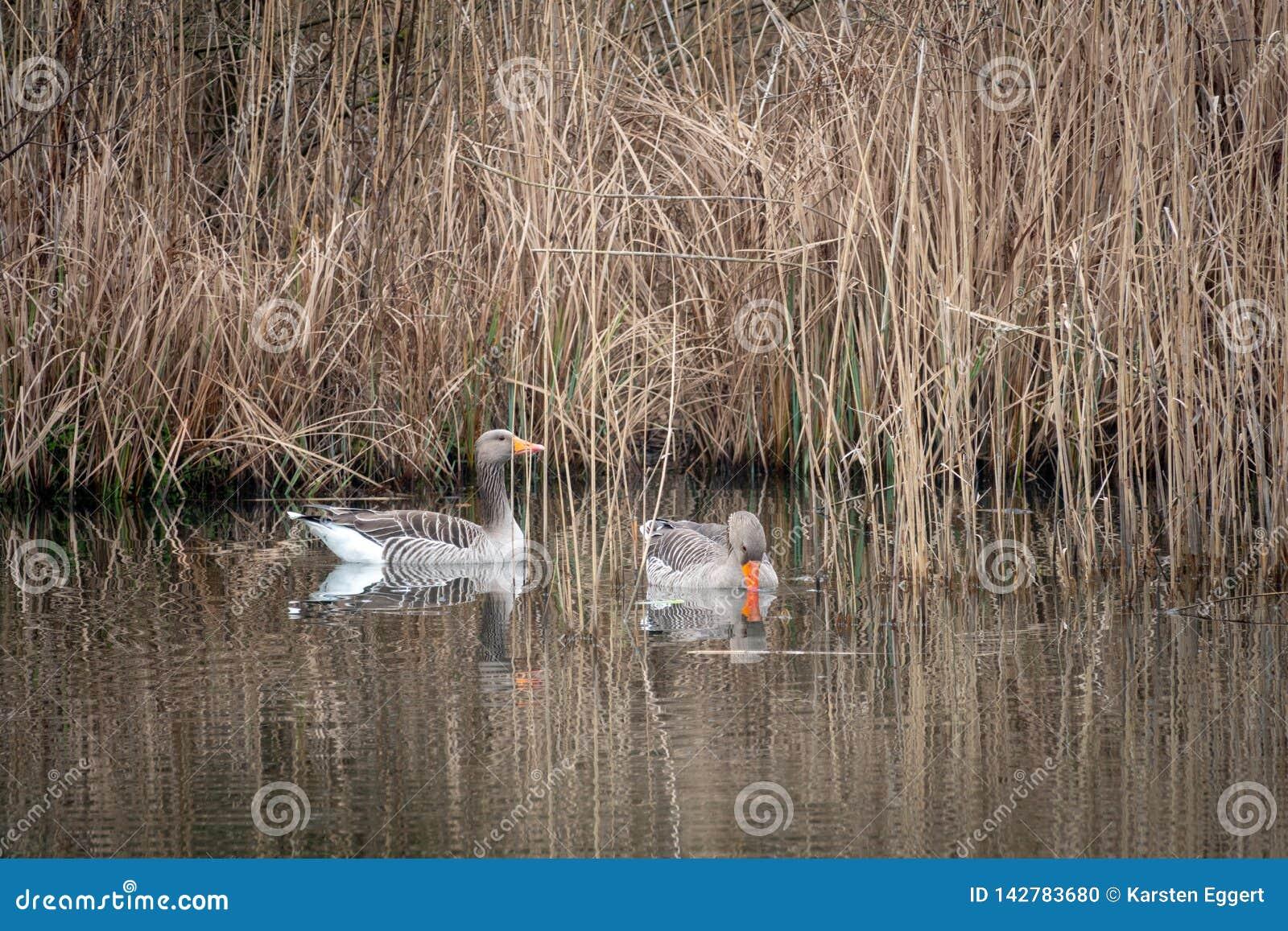 2 graue Gänse, die auf einem See schwimmen