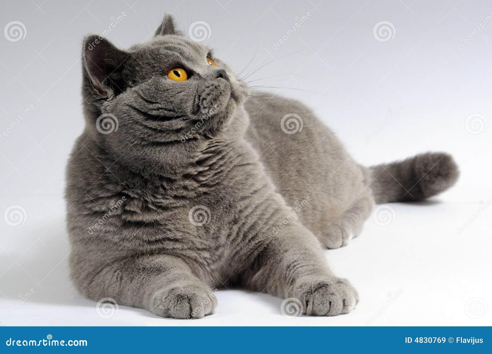 Graue große faule Katze