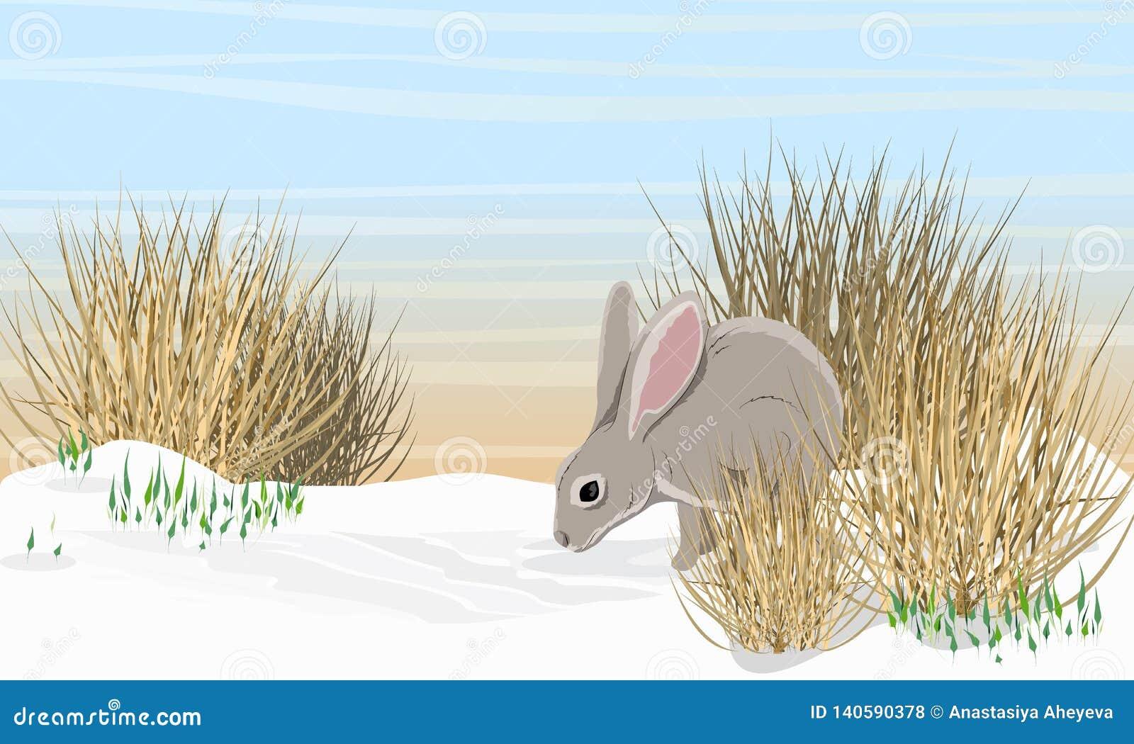 Graue Hasen auf dem Schnee nahe dem trockenen Gras und den Schneeglöckchen Frühling in Europa und in Amerika