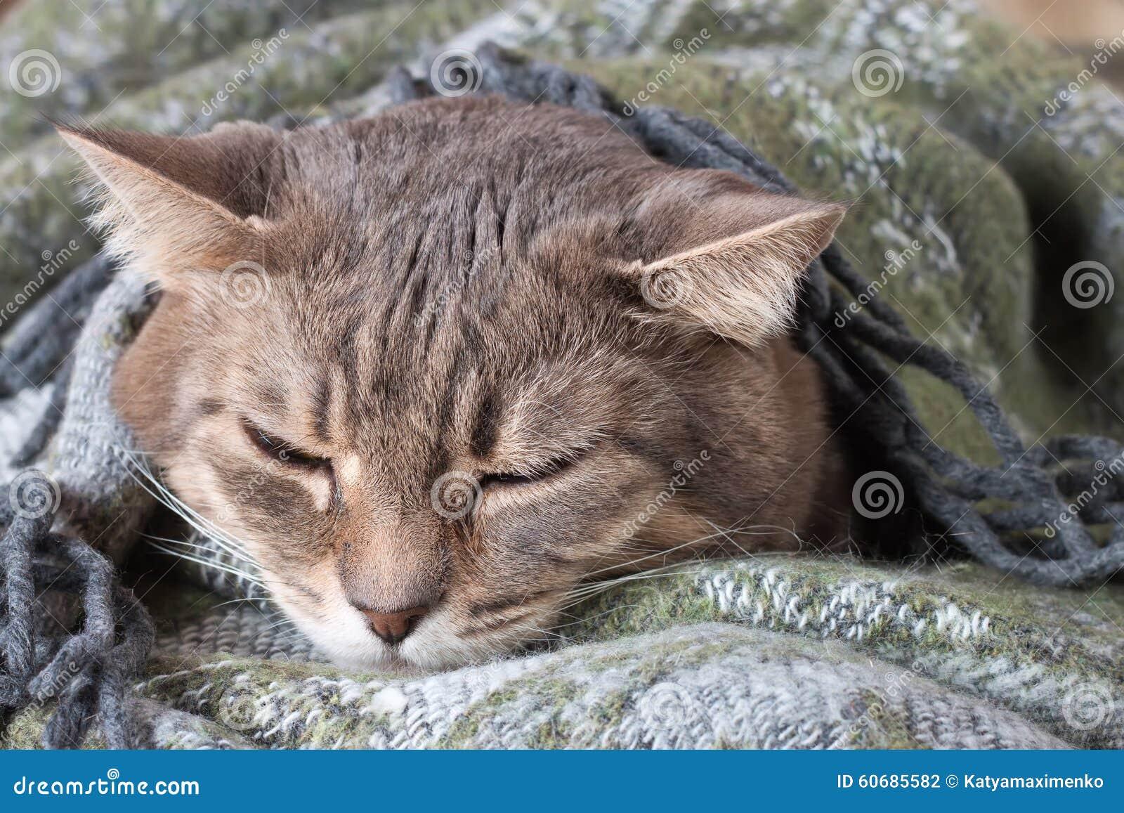 graue katze der getigerten katze die in einer decke stillsteht stockfoto bild 60685582. Black Bedroom Furniture Sets. Home Design Ideas