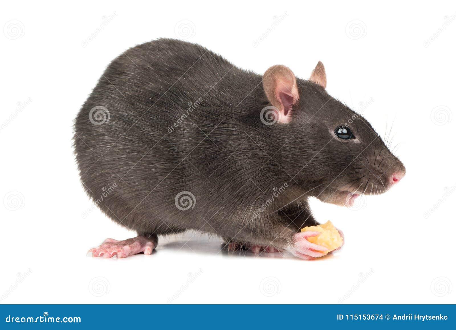 Graue Ratte mit Käse