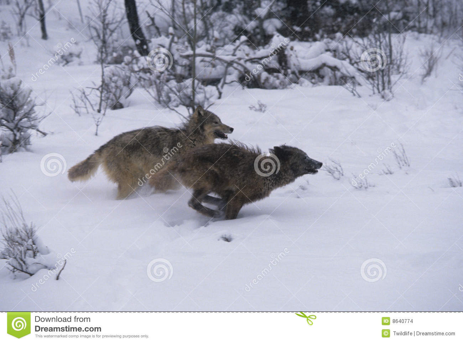 Einen Wolf Laufen