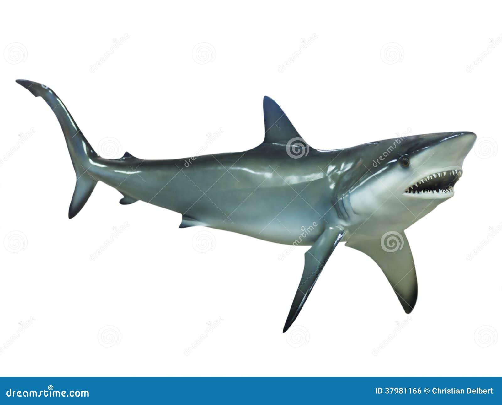 Grauer Riffhaifisch, lokalisiert