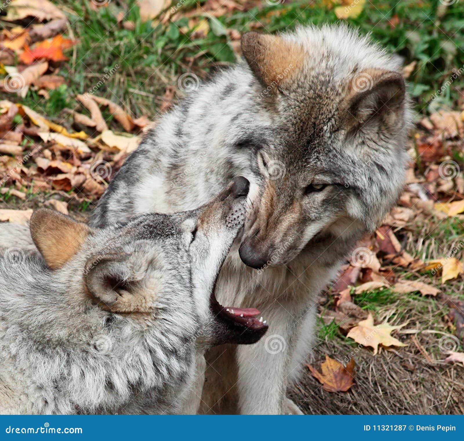 Grauer Wolf, der innerhalb des Munds eines anderen Wolfs schaut