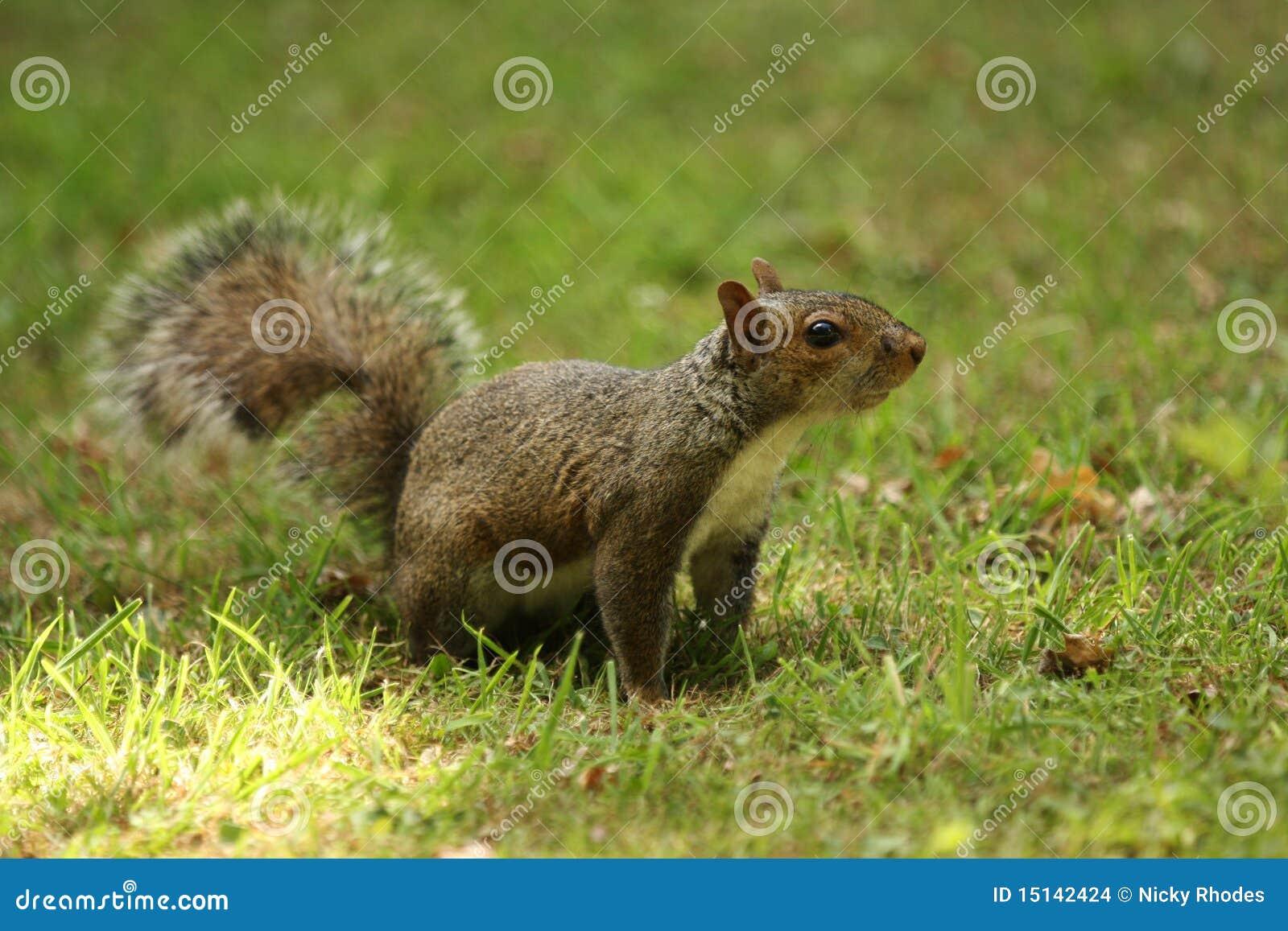 Graues Eichhörnchen auf Gras