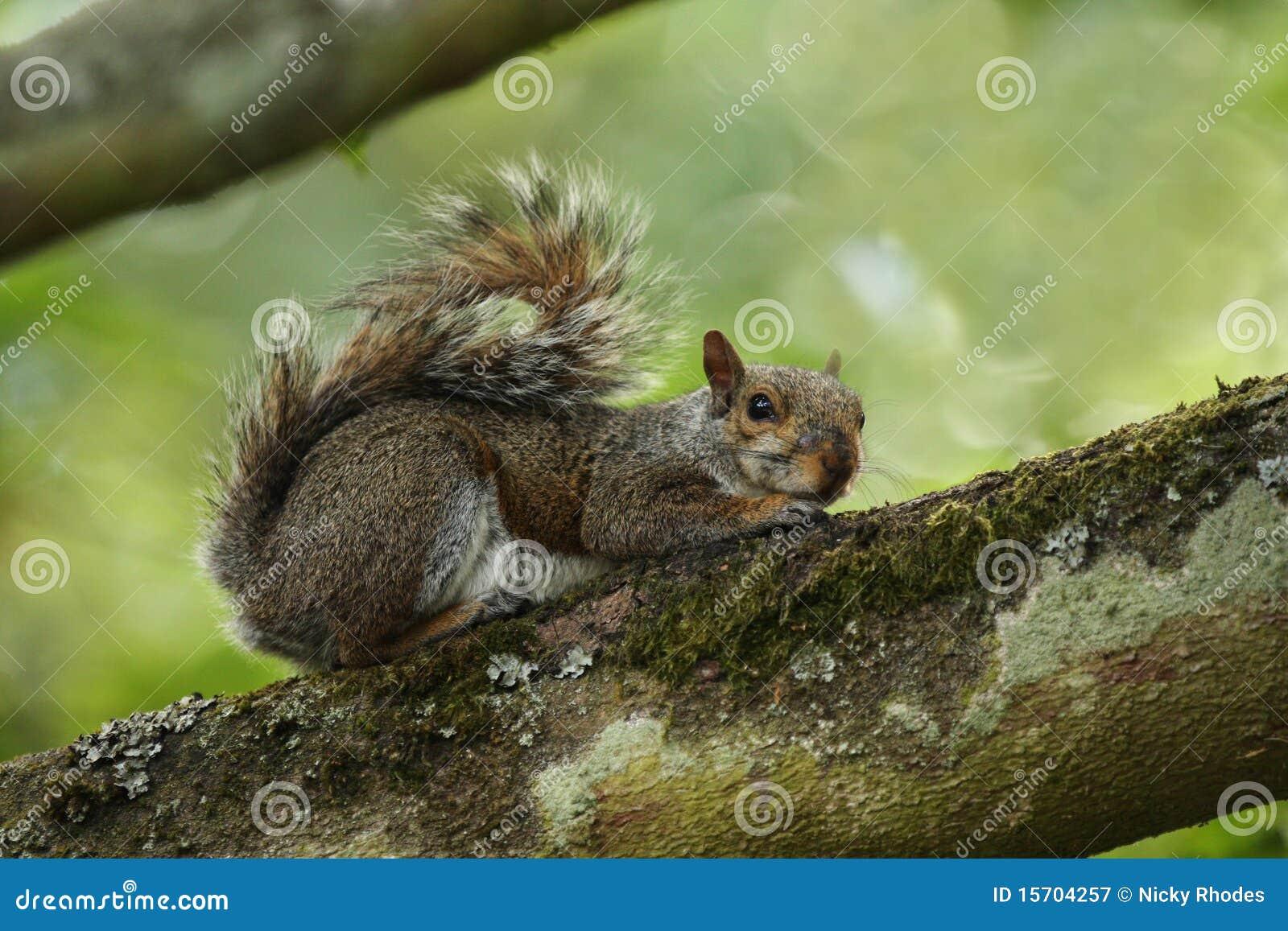 Graues Eichhörnchen auf Zweig