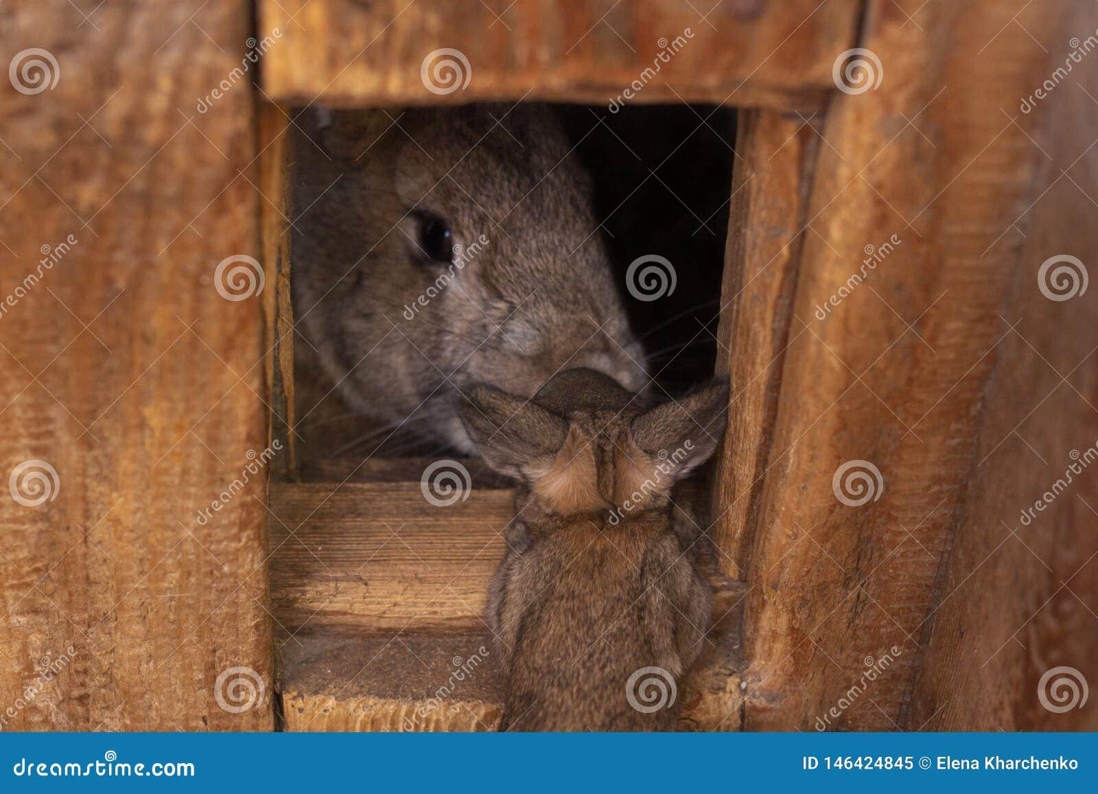 Graues Kaninchen schaut aus seinem Holzhausbaby heraus, das Kaninchen zu seiner Mutter kam