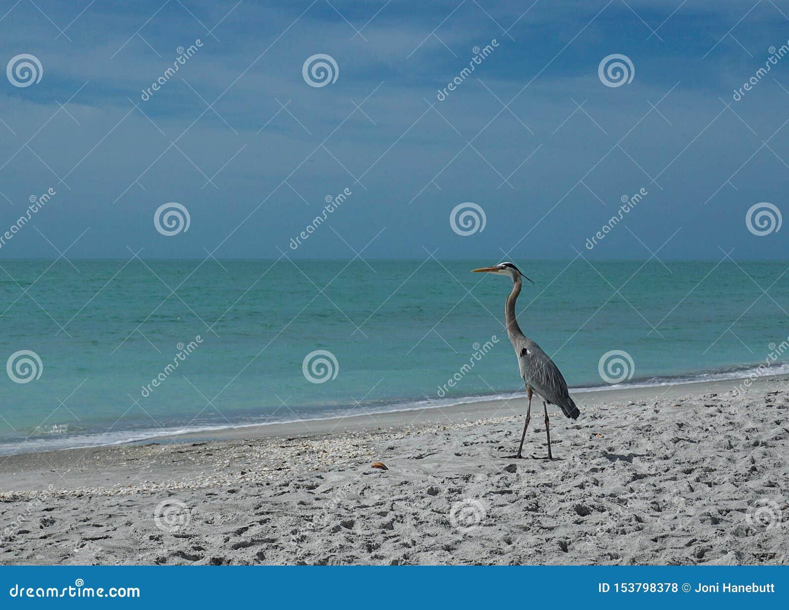 Graureiher auf dem Strand