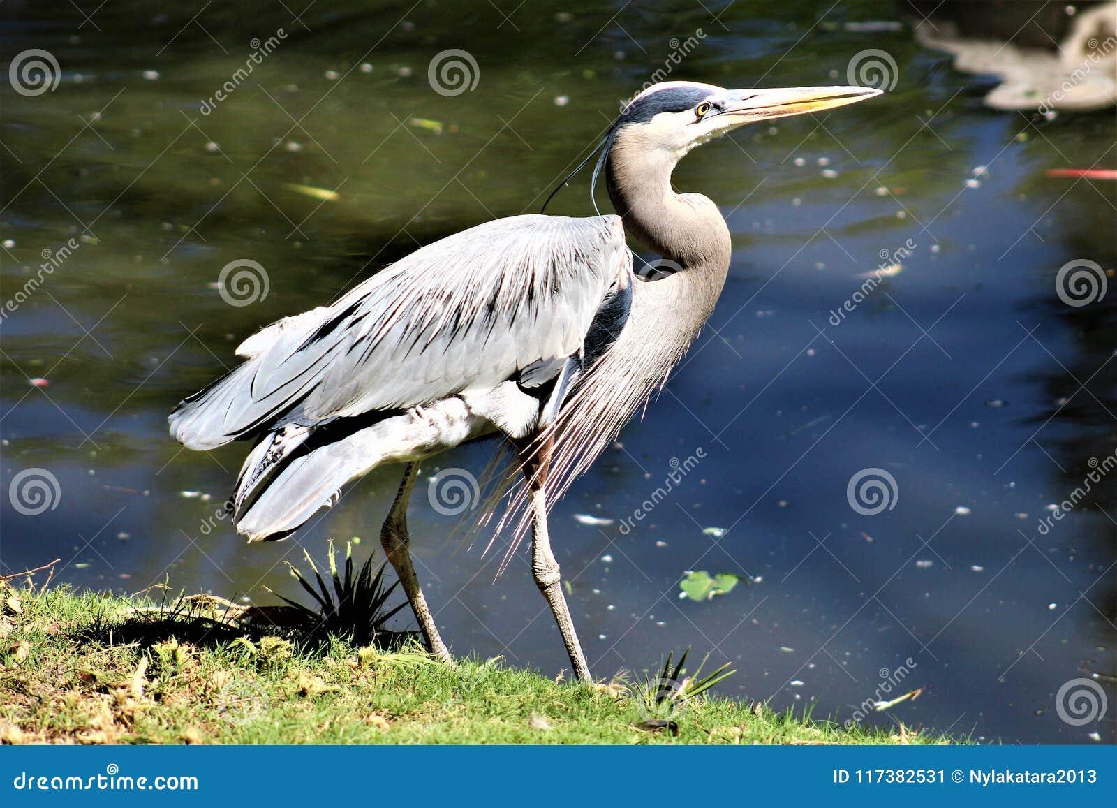Graureiher-großer watender Vogel
