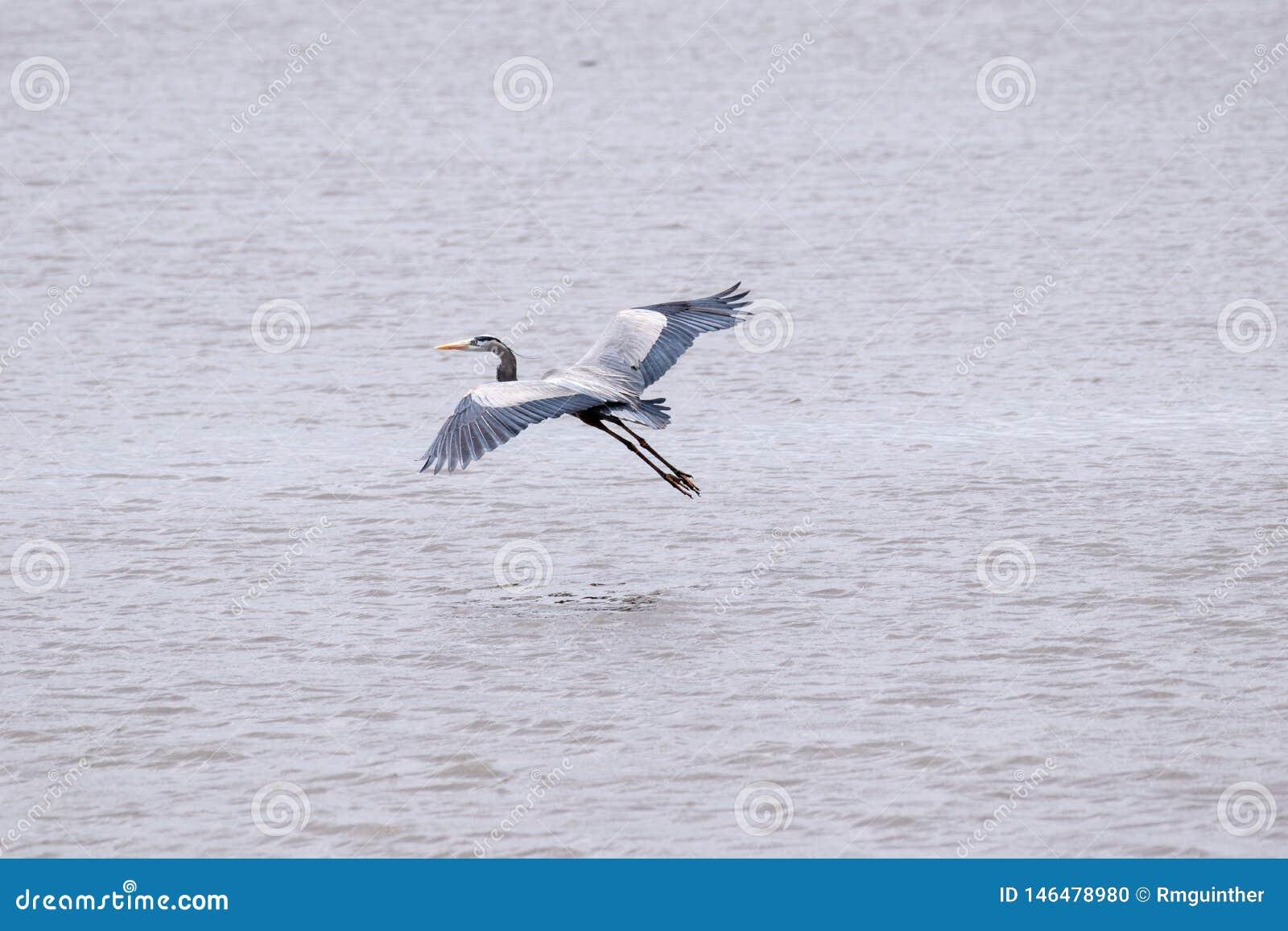 Graureiher im Flug entfernt von einem See