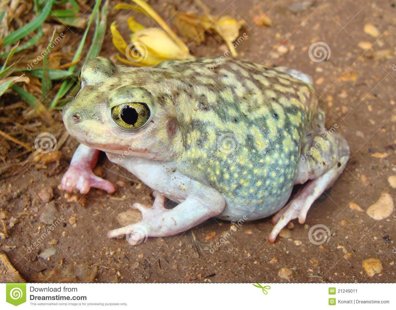A gravid, or pregnant toad, the Spadefoot Toad