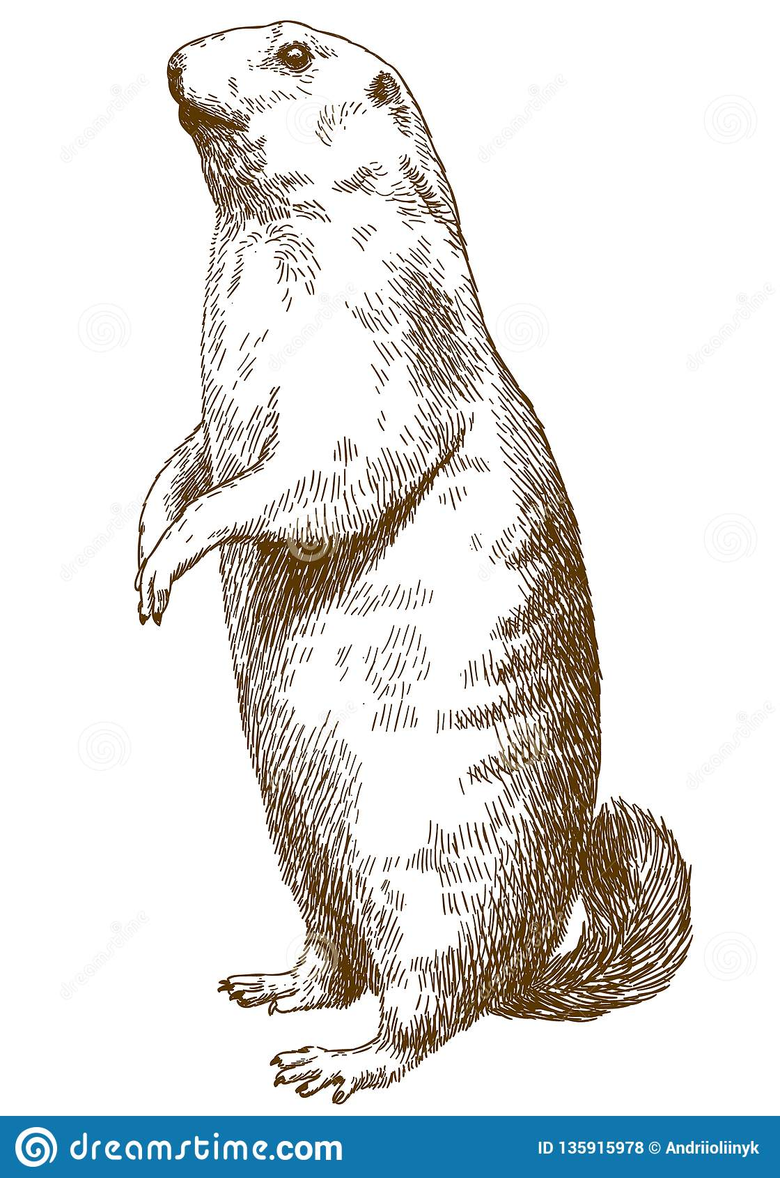 Marmotte Stock Illustrations Vecteurs Clipart 2 110 Stock Illustrations